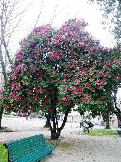 ポルト石楠花.jpg