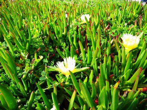 ロカの花.jpg